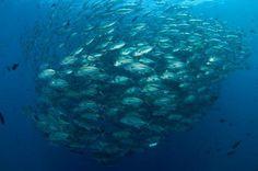 Coral Tri  Trevallies