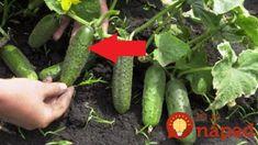 Záhradkári, toto je najlepšia pomôcka pri pestovaní uhoriek: Žiadna chémia na záhrade a dvojnásobná úroda – čaká vás najlepšia sezóna! Cucumber, Vegetables, Gardening, Garten, Vegetable Recipes, Lawn And Garden, Zucchini, Horticulture