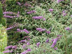Buddleja davidii 'Nanho Purple' (Vlinderstruik), Buddleja davidii 'Nanho Purple' wordt een mooie brede struik met een hoogte van ongeveer 150 cm en blijft daarmee wat lager dan veel andere Buddleja's. De talrijke lilapaarse pluimen van Buddleja davidii 'Nanho Purple' trekken veel vlinders en bijen in de periode juli-augustus. De standplaats van Buddleja davidii 'Nanho Purple' dient zonnig te zijn en de bodem dient goed waterdoorlatend te zijn.