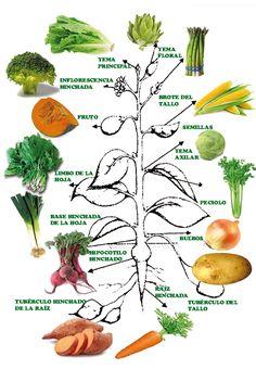 Hortalizas y partes de la planta ciencias pinterest for Plantas hortalizas ejemplos