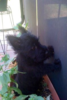 For some reason this scottie reminds me of a faerie, the way his ears are larger than his head and tilted back haha