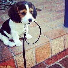 Filhotinho de Beagle com a guia na boca pronto pra passear