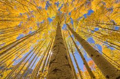 Golden Aspen canopies I - Limited Edition Print  | Luxury Photograph | Luxify