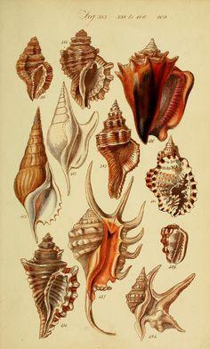 """Image from page 218 of """"A conchological manual"""" Antique Illustration, Nature Illustration, Botanical Illustration, Vintage Drawing, Vintage Art, Scientific Drawing, Illustration Botanique, Psychedelic Art, Botanical Art"""