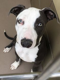 10/28/15 GORGEOUS PUP FIONA IS WAY PAST DUE*** RIVERSIDE, CALIFORNIA!! FIONA - ID #A1232089 (Available NOW) Overbite alert ❤ I am a female, brown & white Pit Bull Terrier mix about 1 year & 1 month old. I have been at the shelter since Sep 26, 2015. Riverside County Animal Control - (951) 358-7387 https://www.facebook.com/1403036200019402/photos/a.1403050556684633.1073741828.1403036200019402/1504236529899368/?type=3&permPage=1