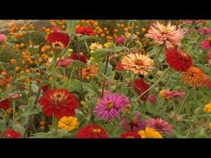 Growing Zinnias | At Home With P. Allen Smith - YouTube