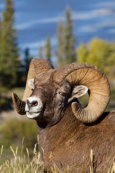 best pictures and photos about mouflon - big horned animals Farm Animals, Animals And Pets, Cute Animals, Woodland Animals, Wild Animals, Animal Games, Animal 2, Animals With Horns, Mountain Goats