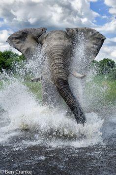 Charging Elephant in Botswana
