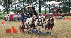 Association poneys France Shetland Passion