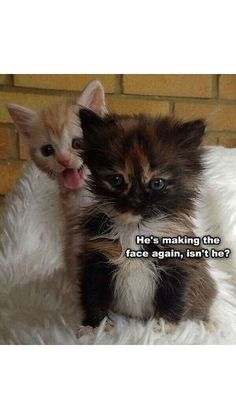 #funny #cat #kitty ♥♥♥  he`s making the face again, isn`t he ?