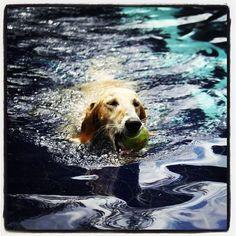 Salatino´s Swimmer Saluki 'Meu Bem'  #Saluki #Salatino #Dogs #dog #perro #cao #cachorro #animals #animales #animais #cute #love #baby