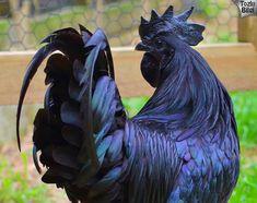 Ayam Cemani Tavuğu