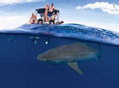 Google+ Shark Diving, Sharks, Family In Hawaiian, Types Of Ocean, Shark Family, Great White Shark, Pearl Harbor, Hawaiian Islands