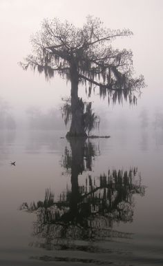 Lake Martin Cypress, just east of Lafayette, Louisiana on a foggy morning in February.