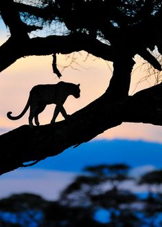 Planet Earth — Leopard at Sunsetby Alistair Swartz (alistairswartz) Photos 500px