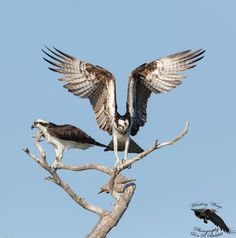 Osprey Bird Flying, Bird Poster, Vertebrates, Birds Of Prey, Raptors, Hawks, Eagles, Wildlife, Nature