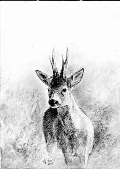 Geweihträger – Jagdmaler Thomas Bold Ink Pen Drawings, Drawing Sketches, Harley Tattoos, Roe Deer, Tattoo Graphic, Antlers, Mammals, Tatoos, Hunting
