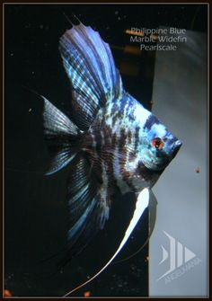Electric Blue Marble Pearlscale Widefin Angelfish