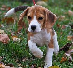 Cute Little Beagle Puppy walks happily thru the grass.
