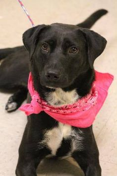 NAME: Starlite ANIMAL ID:28680206 BREED: lab mix SEX: female EST. AGE: 1 yr Est Weight: 33 lbs Health: heartworm neg Temperament: dog friendly, people friendly ADDITIONAL INFO: RESCUE PULL FEE:$49 Intake date: 7/23 Available: now