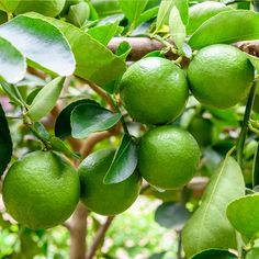 Persian 'Bearss' Lime Trees for Sale– FastGrowingTrees.com Exotic Plants, Tropical Plants, Fruit Plants, Fruit Trees, Citrus Trees, Lime Trees, Fruit Bearing Trees, Fast Growing Trees, Green Fruit