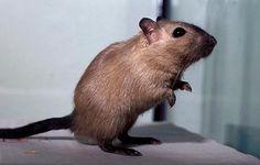 Burmese male gerbil