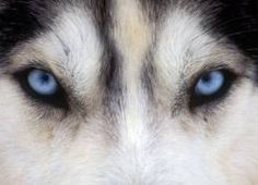 wolf eyes - Google Search