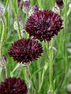 Bachelors-Button-Seeds-Black-Magic-Heirloom-Next-Day-Shipping