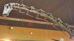 "Squelette restauré du dinosaure sauropodomorphe diplodocidé diplodociné Supersaurus, surnommé ""Jimbo"" au Wyoming Dinosaur Center"