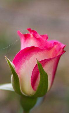 Beautiful Flowers Wallpapers, Beautiful Rose Flowers, Exotic Flowers, Amazing Flowers, Morning Rose, Good Morning Flowers, Rose Reference, Rose Flower Wallpaper, Types Of Flowers