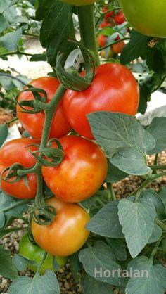 Pepv en tomate