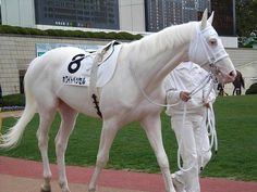 "a lovely rare white japanese thoroughbred race horse named ""white vessel."""