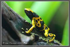 yellow banded dart frog - Dendrobates leucomelas