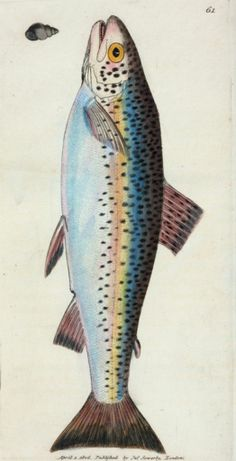 Illustration of a gillaroo trout, circa from a book by naturalist-artist James Sowerby courtesy of the New York Public Library. Fun fact: The gillaroo prefers to snack on snails. Illustration Botanique, Caran D'ache, Fish Illustration, Fish Drawings, Kunst Poster, Rainbow Trout, Rainbow Star, Vintage Fishing, New York Public Library
