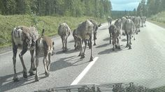 reindeer ahead, filling the road, as far as you can see. Welcome to Finnish Lapland.