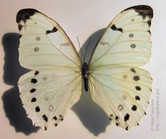 Morpho polyphemus: description and photos Morpho Butterfly, Animals, Animales, Animaux, Animal, Animais