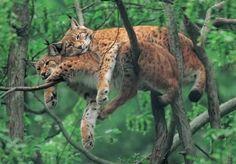 Deux lynx qui dorment en cuillère dans un arbre