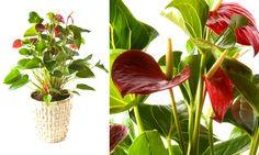 Antúrio é uma planta excelente para a decoração em ambientes internos. Ela não necessita de exposição direta ao sol.