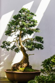 Download this photo by Alex Holyoake on Unsplash Banyan Tree Bonsai, Outdoor Bonsai Tree, Pine Bonsai, Bonsai Plants, Bonsai Garden, Bonsai Trees, Yellow Tree, Green Trees, Green Cactus