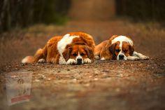 Service Dogs Breeds, Dog Breeds, Clumber Spaniel, St Bernard Dogs, Belgian Malinois, Great Pyrenees, Shetland Sheepdog, Most Favorite, Labrador Retriever