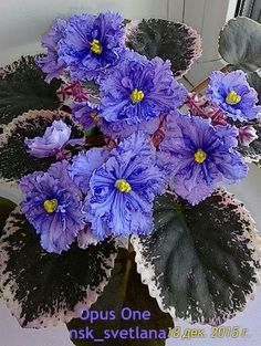 Easy To Grow Houseplants Clean the Air Opus One African Violet By Sharon Kemp Inside Plants, All Plants, Indoor Plants, House Plants, Begonia, Love Flowers, Beautiful Flowers, Opus One, Easy To Grow Houseplants