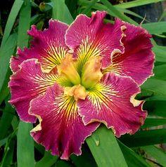 Wish list for Louisiana Iris 'Susannah Fullerton' Iris Flowers, Exotic Flowers, Tropical Flowers, Amazing Flowers, Colorful Flowers, Planting Flowers, Beautiful Flowers, Louisiana Iris, Day Lilies
