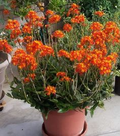 """Epidendrum 'Radicans' aka Fire-Star Orchid, Rainbow Orchid, Crucifix Orchid, Reed-Stem - The plants we sell are rooted in 4"""" pots. - Plants have 1-3 stems per pot measuring 12-18 inches tall - Easiest"""