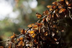 2016-2-27 - And some good news!  Monarch Butterfly Migration Rebounds, Easing Some Fears - The New York Times