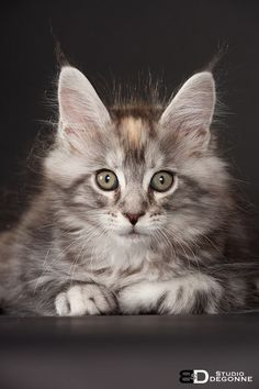 Patayan's Jovka, maine coon black silver tortie blotched tabby