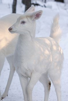 Albino Whitetail fawn Baby Blue Eyes seems so happy that the sun is shining and the temperature is above freezing for the first time in 2 months. She just kept dancing around. Little Miss Sunshine (by Mike)