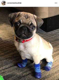 Baby Animals, Funny Animals, Cute Animals, Pug Puppies, Chihuahuas, Funny Pug Videos, Pug Kawaii, Pug Gifs, Baby Pugs