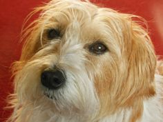 Our gorgeous long haired Jack Russell Lily.