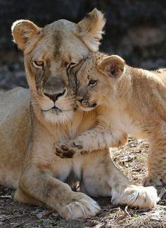 Deze leeuwin Kiki knuffelt met haar jongen van 13 weken in de zoo van Atlanta.
