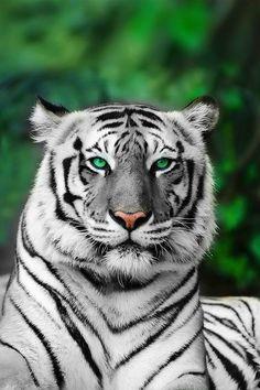 ✮ tiger with green eyes: Big Cat, White Tigers, Wild Animal, Wild Cat, Beautiful Animal, Favorite Animal, Green Eyes, Bigcat